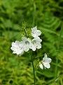 Polemonium caeruleum (white flowers).jpg