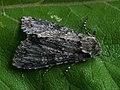 Polia nebulosa - Grey arches - Садовая совка мутно-серая (28951917667).jpg