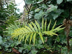 Polypodium cambricum 001.jpg
