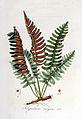 Polypodium vulgare — Flora Batava — Volume v6.jpg