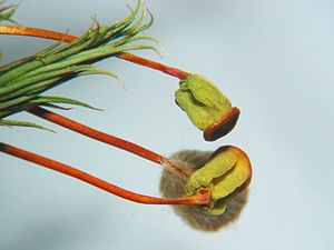 Polytrichum commune - Close-up of capsules (after shedding of calyptra)