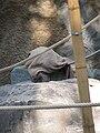 Pongo pygmaeus abeli - Hamburg, Tierpark Hagenbeck - 4.jpg