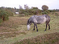 Ponies grazing on Black Knowl heath, New Forest - geograph.org.uk - 71614.jpg