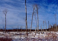 Poplar growing on muskeg