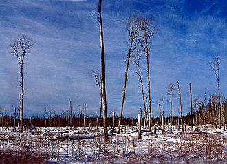 Muskeg - Poplar growing on muskeg