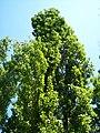 Populus nigra-3.jpg