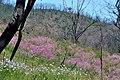 Post Fire Pink - panoramio.jpg