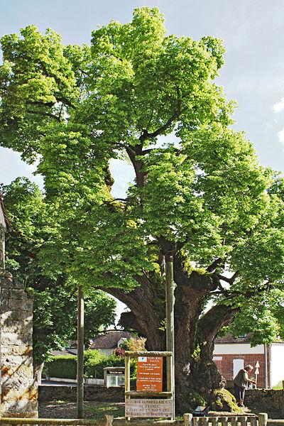 Tilleul Rosny planté en 1598 à la Postolle