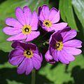 Primula jesoana var. jesoana (flowers).JPG