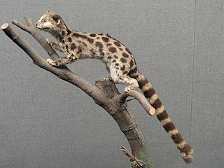 Asiatic linsang genus of mammals