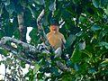 Proboscis Monkey (Nasalis larvatus) male (8067809157).jpg