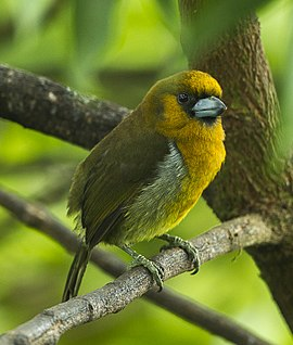 Prong-billed Barbet - Cinchona - Costa Rica.jpg