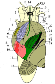 Drawing of a male prosobranch gastropodlight yellow - bodybrown - shell and operculumgreen - digestive systemlight violet - gillsyellow - osphradiumred - heartpink - dark violet - 1. foot 2. pleural ganglion 3. pneumostome 4. upper commissura 5. osphradium 6. gills 7.? ganglion 8. atrium of heart 9. visceral ganglion 10. ventricle 11. foot 12. operculum 13. brain 14. mouth 15. tentacle 16. eye 17. tentacle 18.? 19. pedal ganglion 20. lower commissura 21.? 22. pallial cavity / mantle cavity / respiratory cavity 23. parietal ganglion 24. anus 25. hepatopancreas 26. vas deferens 27. rectum 28. nephridium