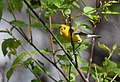 Prothonotary Warbler gets a worm (34414564552).jpg