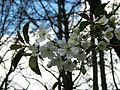 Prunus avium 04.jpg