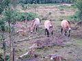 Przewalski's Horse - geograph.org.uk - 218965.jpg