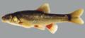 Pseudobarbus asper Gamtoos system.png