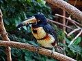 Pteroglossus torquatus -Macaw Mountain Bird Park -8b.jpg