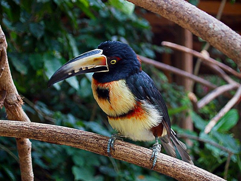 Ficheiro:Pteroglossus torquatus -Macaw Mountain Bird Park -8b.jpg
