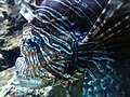 Pterois volitans.002 - Zoo Aquarium de Madrid.JPG
