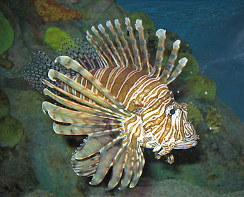 A Red Lionfish (Pterois volitans) at the New E...