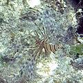 Pterois volitans (red lionfish) (San Salvador Island, Bahamas) 1 (15559896244).jpg