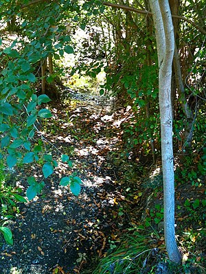 Purisima Creek (Santa Clara County) - Purisima Creek with water in late August (2010) just above O'Keefe Lane. Note invasive non-native Siberian Elm (Ulmus pumila).