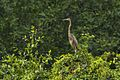 Purple Heron - Muara Angke - West Java MG 5972 (29210250613).jpg
