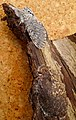 Puss Moth . Cerura vinula, just hatched from case (33771060174).jpg