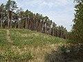 Puszcza Bydgoska - panoramio (1).jpg