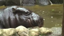 File:Pygmyhippopotamus-uenozoo2008.ogv