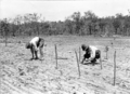 Queensland State Archives 2612 Soldier settlers planting tomatoes Stanthorpe October 1918.png