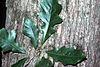 Quercus bicolor (USDA)