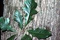 Quercus bicolor (USDA).jpg