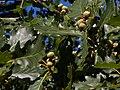 Quercus dalechampii.jpg