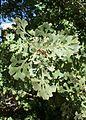 Quercus lobata kz5.jpg