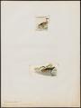 Querquedula versicolor - 1700-1880 - Print - Iconographia Zoologica - Special Collections University of Amsterdam - UBA01 IZ17600427.tif