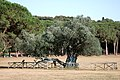 1700-year-old Olive Tree