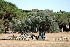 Brijuni - 1700-year-old Olive Tree