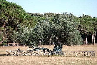 Brijuni - 1700-year-old olive tree