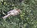 RSPB Sandwell Valley bird ringing - 2004-06-19 - Andy Mabbett - 09.jpg