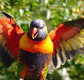Rainbow Lorikeet in flight.jpg