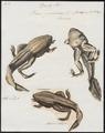 Rana paradoxa - 1700-1880 - Print - Iconographia Zoologica - Special Collections University of Amsterdam - UBA01 IZ11500025.tif