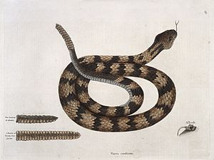 Rattle-snake with section of rattle and tooth, 1731 Wellcome L0035356.jpg