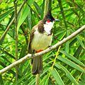 Red-Whiskered Bulbul (Pycnonotus jocosus) at Kumarakom Bird Sanctuary.jpg