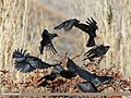 Red-billed Chough (Pyrrhocorax pyrrhocorax) & Yellow-billed Chough (Pyrrhocorax graculus) (44960579724).jpg