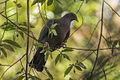 Red-billed Pigeon - Zamora Estate - Costa Rica MG 5686 (26423524740).jpg