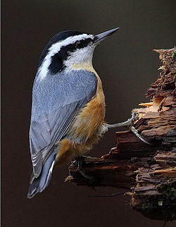 Red-breasted Nuthatch (Sitta canadensis)5.jpg