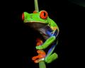 Red-eyed Tree Frog (Agalychnis callidryas) 1.png