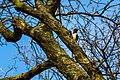 Red-headed woodpecker (33521250458).jpg